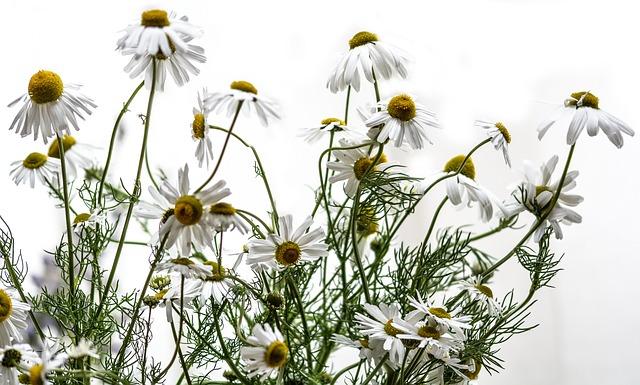 chamomile-1500846_640.jpg