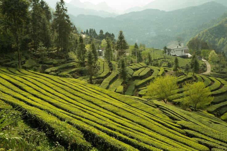tea-garden-2221932_1920.jpg